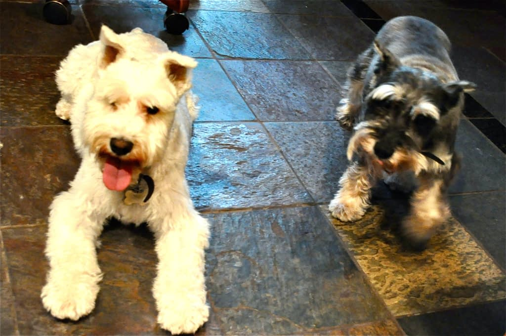 one white and one black miniature schnauzer in the kitchen