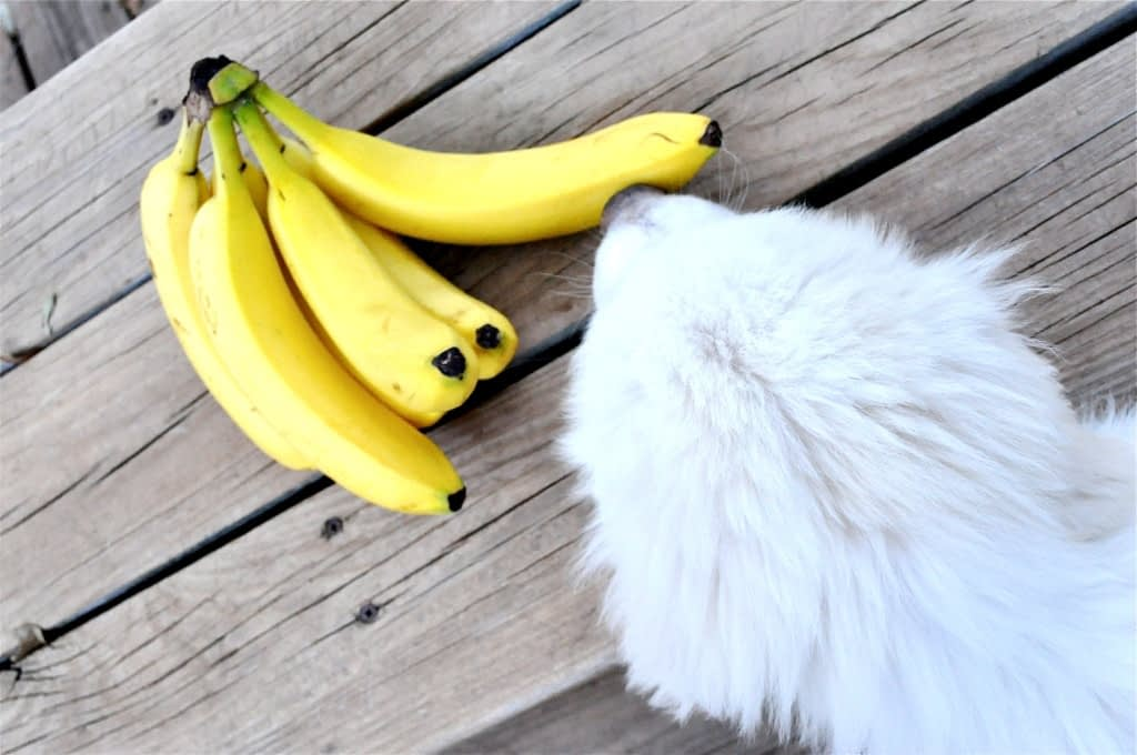 a bunch of unpeeled bananas on a wooden table with a white puppy sniffing them