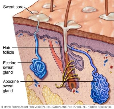mayo_clinic_apocrine_sweat_gland_illustration