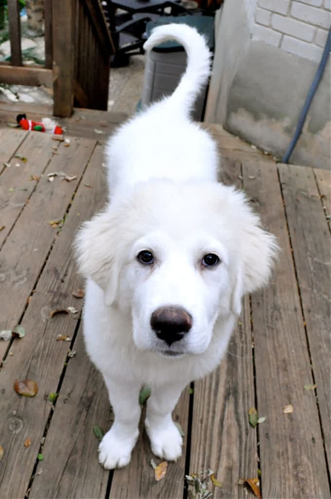 large white puppy